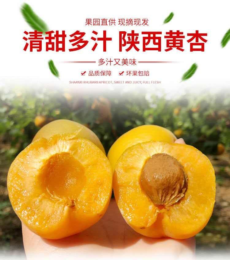陕西大黄杏
